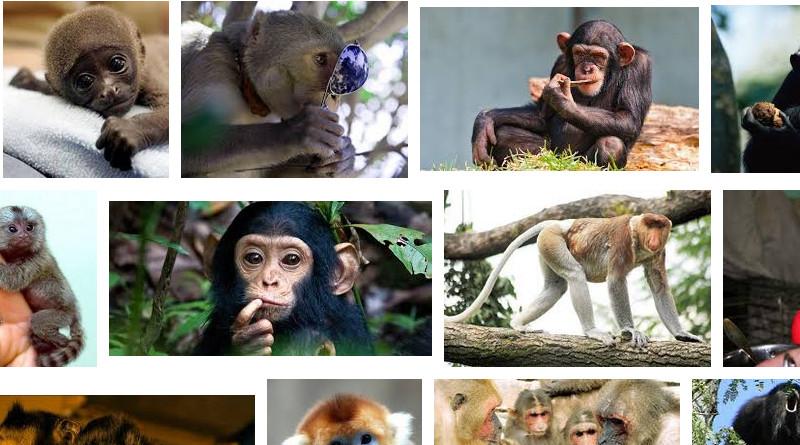 стайные обезьяны